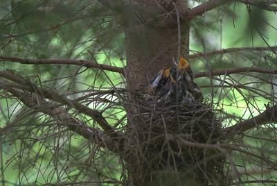 2012 05 26, 28:  Baby Birds, Ephraim WI